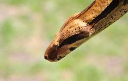 Python portrait Royalty Free Stock Photo