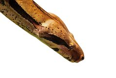 Python portrait Stock Images