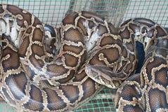 Python Royalty Free Stock Image