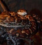 Python (pythonidae)在玻璃容器 库存照片