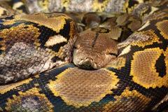 Python réticulé photographie stock