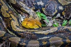 Python réticulé photographie stock libre de droits