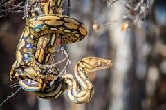 Python réticulé images libres de droits