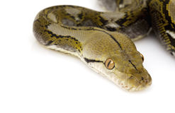 Python réticulé images stock