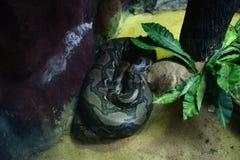 Python réticulé photos libres de droits