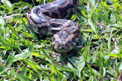 Python réticulé Photo libre de droits