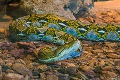 Python réticulé jaune et brun rampant au-dessus du plancher, chef de serpent en plan rapproché, serpent populaire d'Asie photo libre de droits