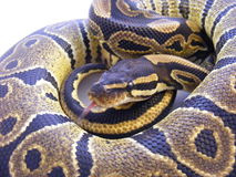 Python real juvenil Imagen de archivo