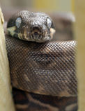 Python, red tail boa constrictor snake,honduras Royalty Free Stock Photo