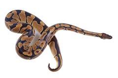 Python regio con la lengua que lo pega hacia fuera, en el fondo blanco, también se conoce como pitón real o pitón de la bola Imagenes de archivo