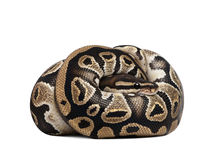 Python regius in front of a white background Royalty Free Stock Photography