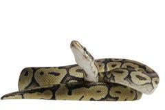 Python regius isolated on white background. Royalty Free Stock Photos