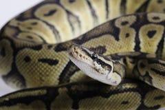 Python regius isolated on white background. Royalty Free Stock Image