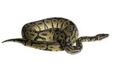 Python regius isolated on white background. Stock Photo