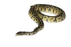 Python regius isolated on white background. Royalty Free Stock Photo