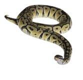 Python regius isolated on white background. Stock Photos