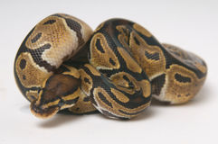 Python regius in a roll Royalty Free Stock Photo