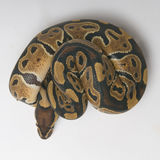 Python regius in a roll. View from top Stock Photography