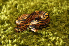 Python regius snake (royal or ball python) Stock Photo