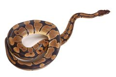 Python regius with tongue sticking out, it is also known as royal python or ball python Royalty Free Stock Photo