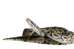 Python regius  on white background. Royalty Free Stock Photos