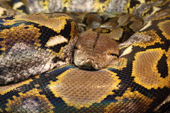 python reticulated Στοκ Φωτογραφία