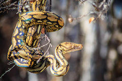 python reticulated Στοκ εικόνες με δικαίωμα ελεύθερης χρήσης