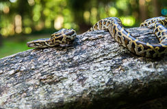 python reticulated Στοκ Εικόνα