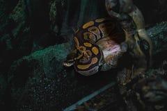 Python royal Lizenzfreies Stockfoto