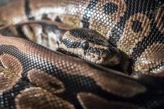 Python royal photos stock