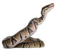 Python royal de python mangeant une souris, python de bille Photographie stock libre de droits