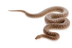 python s stimson Στοκ Φωτογραφίες