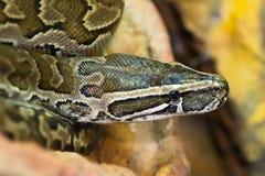 Python sebae. Pithon sebae on rock natural backgrund Stock Images