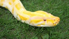 A Python slithers on the ground stock video