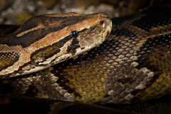 Python Snake Royalty Free Stock Photography