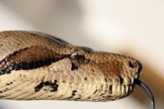 Python snake 3 Stock Photos