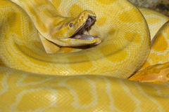 The python snake Stock Images