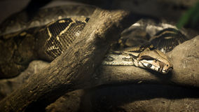 Python snake Royalty Free Stock Images