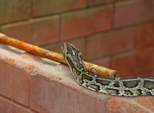 Python snake on brick wall Royalty Free Stock Photo