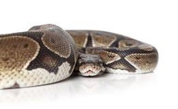 Python snake closeup Stock Photos