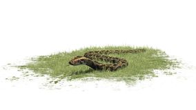 Python snake crawls in grass Royalty Free Stock Photos