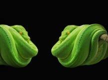 Python, Snake, Green Tree Python Stock Images