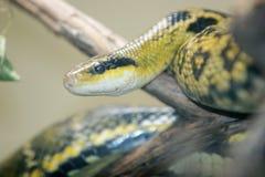 Python snake headshot Royalty Free Stock Image