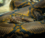 Python Snake. Here is a picture of a python snake from Taronga Zoo in Sydney Australia Stock Photos