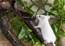 Python snake imeeting mouse lunch on branch Royalty Free Stock Photos