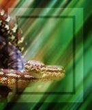 Python snake intense gaze Royalty Free Stock Photos
