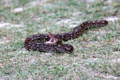 Python snake opening its mouth in the garden. Royalty Free Stock Image