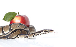 Python Snake with red apple Royalty Free Stock Photography