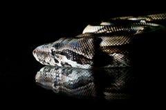 Python snake reptile macro portrait on black Royalty Free Stock Photos