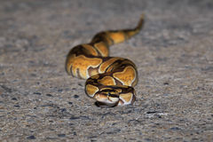 A python snake on sideway road. Royalty Free Stock Images